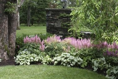 Beautiful border of astilbe and hosta; perfect for shade area coming down driveway