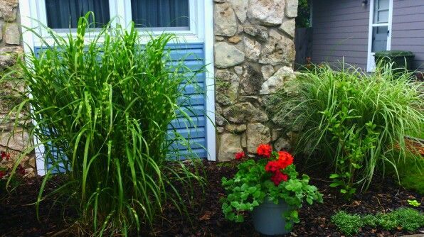 Zebra grass, pelargoniums, silver plectranthus foliage plant, Japanese silver grass