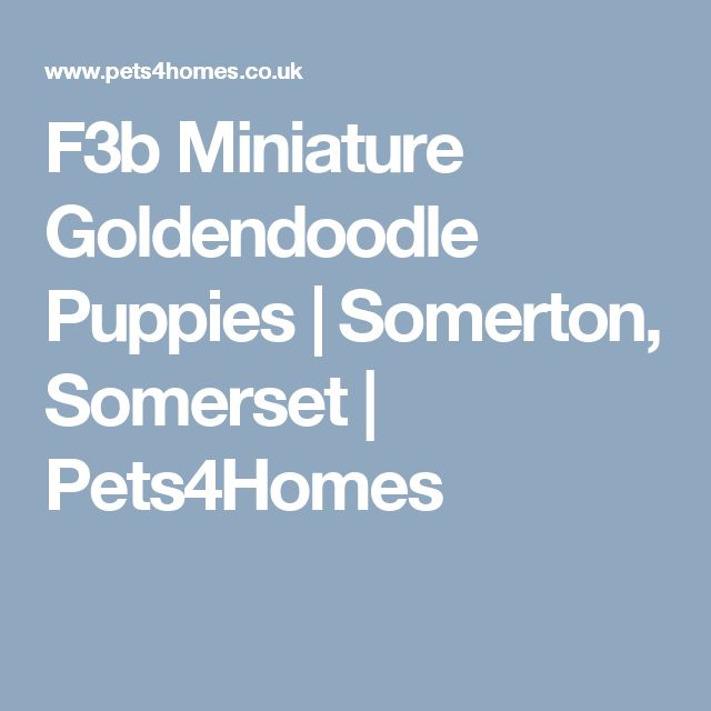 F3b Miniature Goldendoodle Puppies | Somerton, Somerset | Pets4Homes