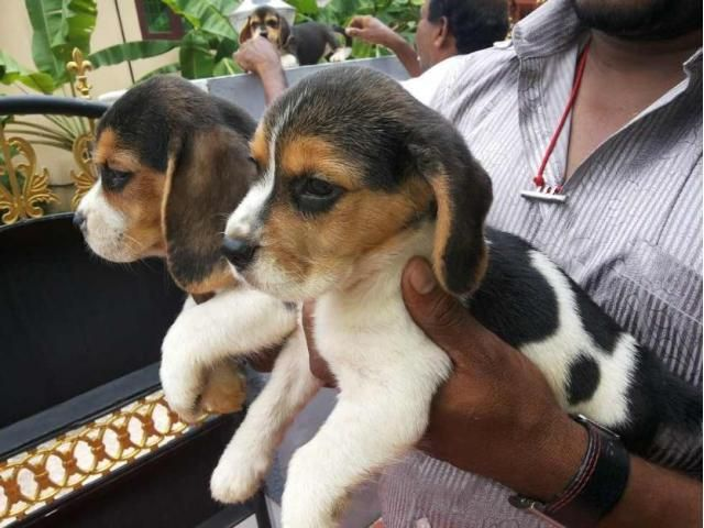 Active and Playful Beagle puppy ready 4 sale