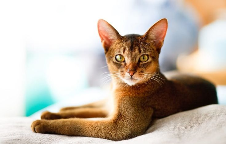Abyssinian: The Ultimate Guide to Their History, Types, Characteristics, Temperament, and Care – Haus 114