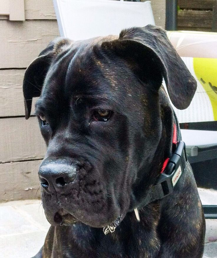 Puppy cane corso 6M (Notice the long box face! Not Breed Standard! Careful who you purchase from! Unethical, money hungry, crossbreeders are everywhere offering lower prices! You get what you pay for! JLynne)