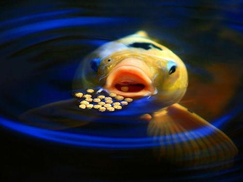 Caviar.: Picture, Photos, Animals, Nature, National Geographic, Fish, Nationalgeographic, Koi Feeding, Photography