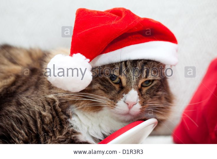 Download this stock image: Cute cat with santa hat. - D1R3R3 from Alamy's library of millions of high resolution stock photos, illustrations and vectors.