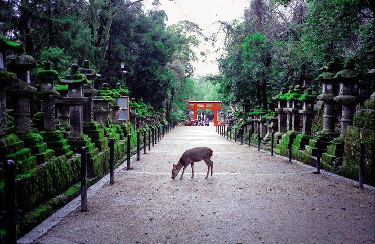 Sur la route du parc qui mène au sanctuaire Kasuga-taisha. Mita Kitamura - Nara