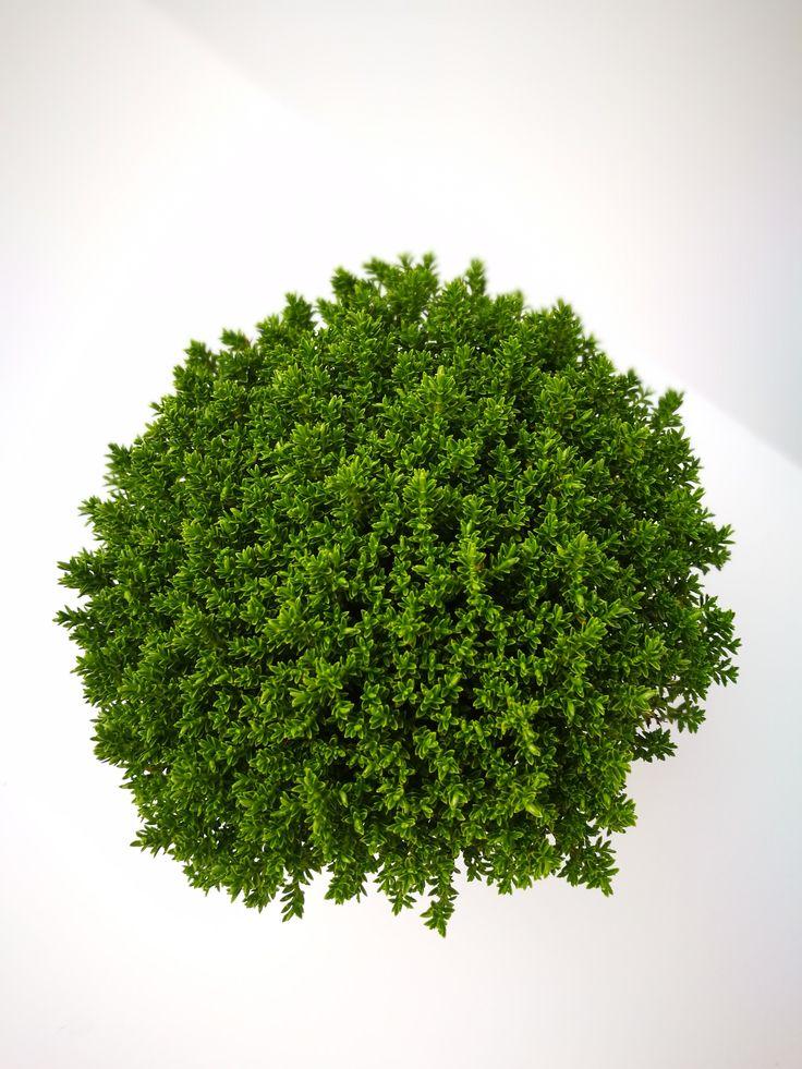 Hebe Green Globe - Strauchveronika  Die Hebe Green Globe oder auch als Strauchveronika bekannt, stammt ursprünglich aus dem fernen Neuseeland. Mit der Sorte 'Green Globe' holen Sie sich den grünen Alleskönner in den Garten.