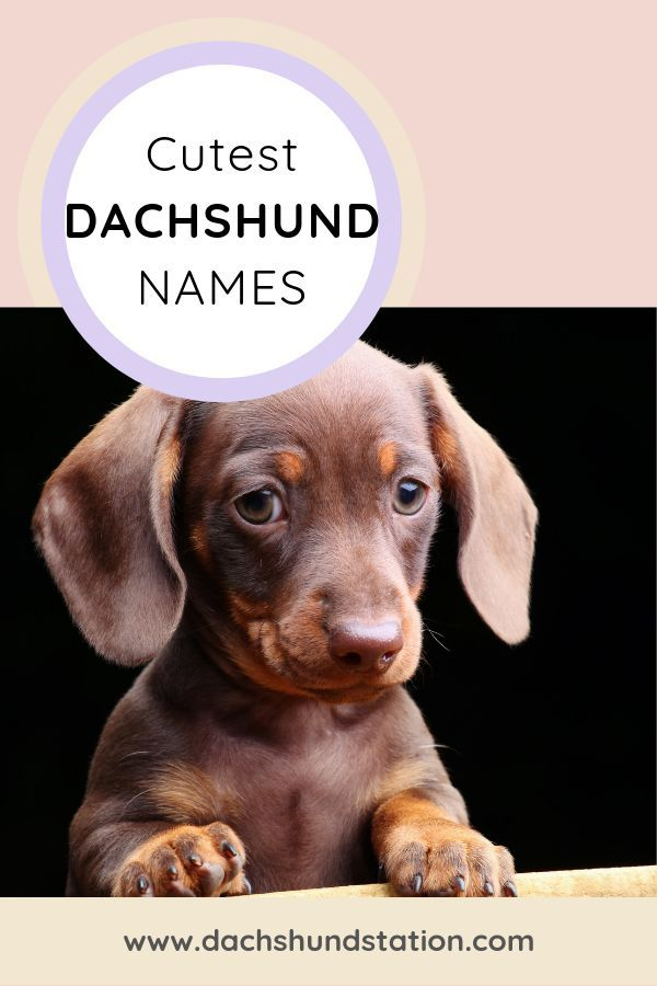 Best Dachshund Names Of 2020 Dog Names Dog Names Unique