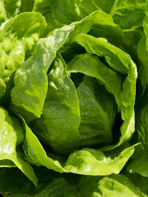 Cool Greens: Growing Lettuce in Your Fall GardenModern Gardens, Growing Lettuce, Gardens Decor, Gardens Gardens, Fall Gardens Design, Garden Design Ideas, Beautiful Gardens, Fall Gardening, Fall Lettuce