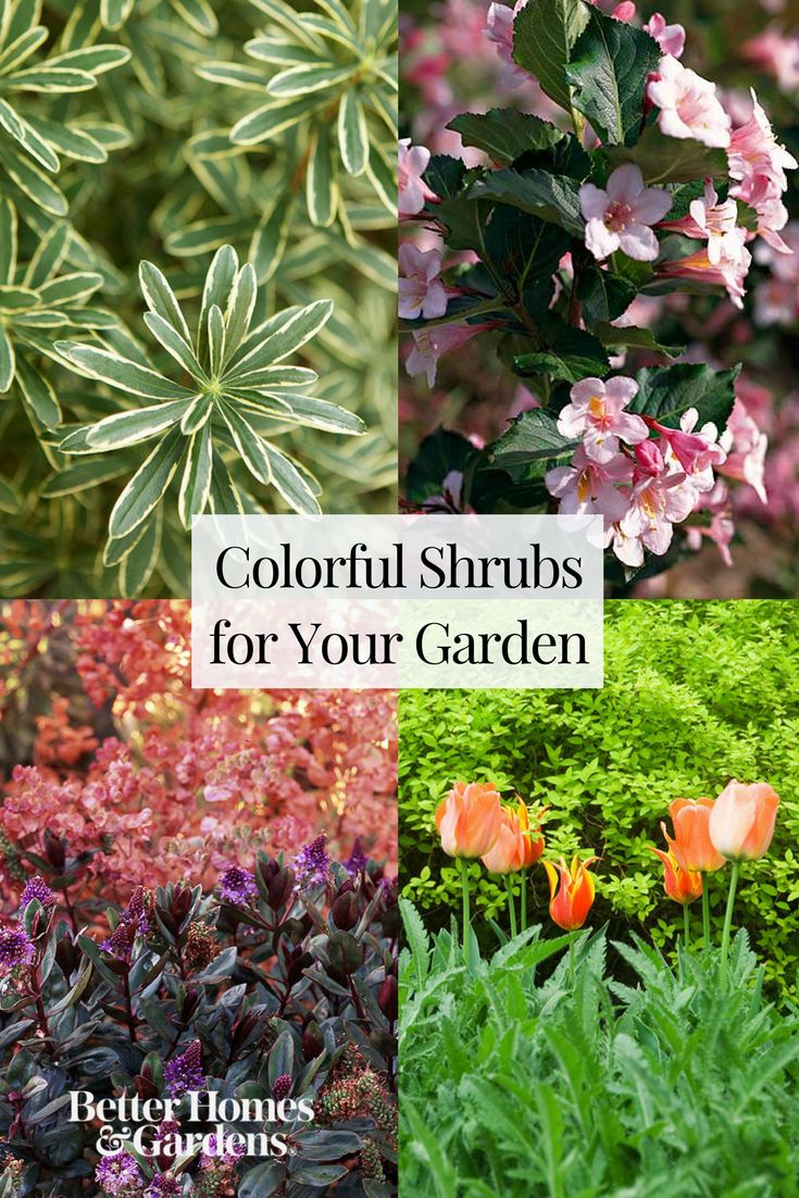 Black lace elderberry, weigela, and tiger eyes sumac are just a few of the shrubs that will add color to your landscape from spring to fall. See our full list of colorful shrubs to find the perfect one(s) for your garden.