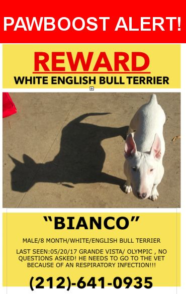 Please spread the word! Bianco was last seen in Los Angeles, CA 90023.  Message from Owner: Dear All,     Our Puppy Bull Terrier BIANCO went missing yesterday evening.   He is supersweet and will come to you when called  Please help us find him!!!  Thank you!  Nearest Address: Near Olympic & S Grande Vista Ave