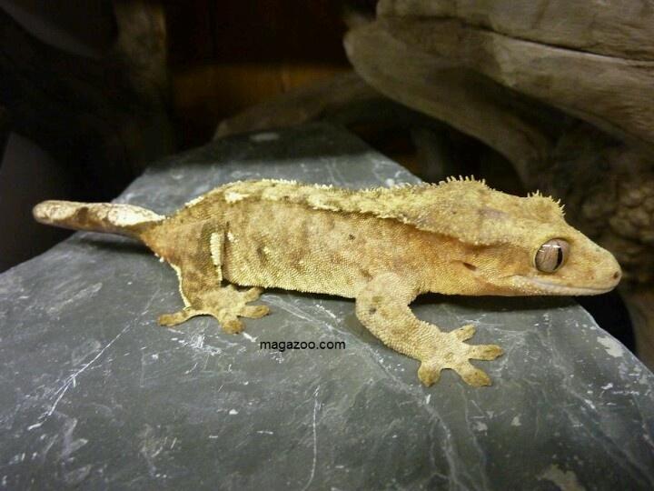 Gecko à crête adulte