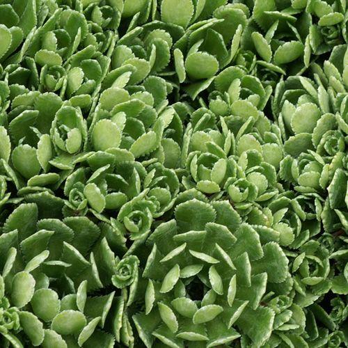 SAXIFRAGA paniculata var. brevifolia  (Saxifrage) : Genre extrêmement riche, renfermant une grande variété de plantes adaptées à la garniture de différents milieux. Toutes les espèces proposées sont de culture facile. Tapis très ras de petites rosettes fortement incrustées de calcaire. Fleurs blanches. Rocaille, muret, auge.
