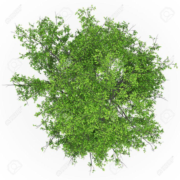 97 best images about arboles y arbustos en planta on for Arboles altos para jardin