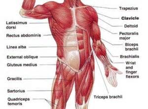 30 best muscles per se images on pinterest | muscles, definitions, Muscles