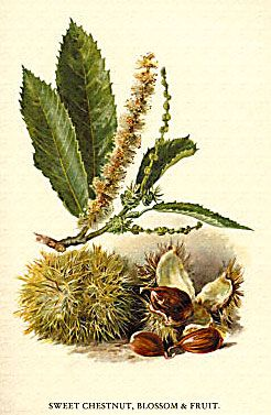 1895 Arboriculture Bloom Blossom Bush Castanea Sativa Chestnut Cones Environment Foliage Forest Fruit Leaf Leaves Nature Sweet Tree Variety Trees