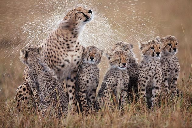 Cheetahs: Animal Pics, Wild Cat, Big Cat, Animal Pictures,  Chetah, Cheetahs Cubs,  Acinonyx Jubatus, Shower Time, Bigcat