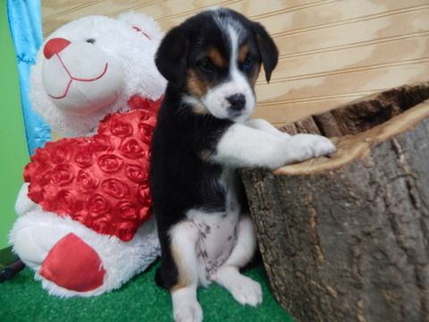 Border Collie Mix puppy for sale in HAMMOND, IN. ADN-63485 on PuppyFinder.com Gender: Female. Age: 8 Weeks Old