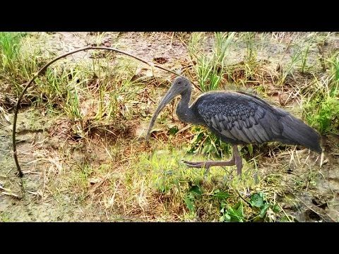 Top 10 Traditional Bird Trapping in Cambodia|   Best Birds Trap|   How T...