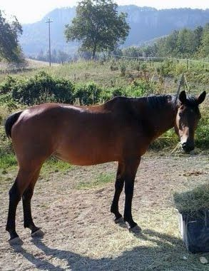 """The Ventasso Horse (Italian: Cavallo del Ventasso) is a rare breed of horse originating from the upper Val d'Enza valley in the Emilia Romagna region of Italy. It is one of the fifteen indigenous horse """"breeds of limited distribution"""" recognised by the AIA, the Italian breeders' association."""
