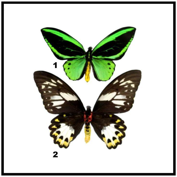 """Acrylic Display Box - Green Birdwing - Pair - 10"""" X 10"""" - #90010-01"""