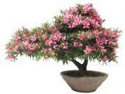€729,-  30 jaar oud en 44cm hoog  www.bonsai.de