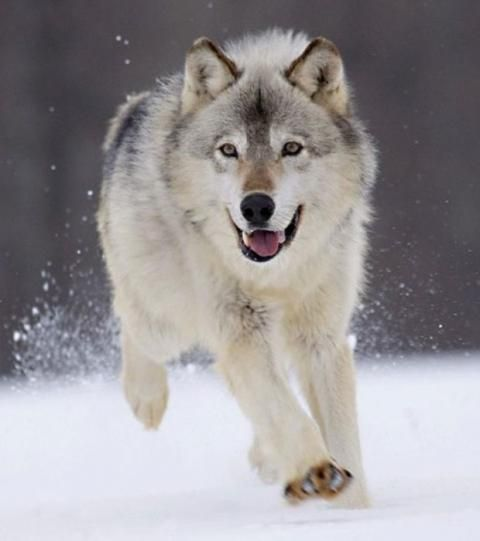 As the wolf approaches the woman, between the two …