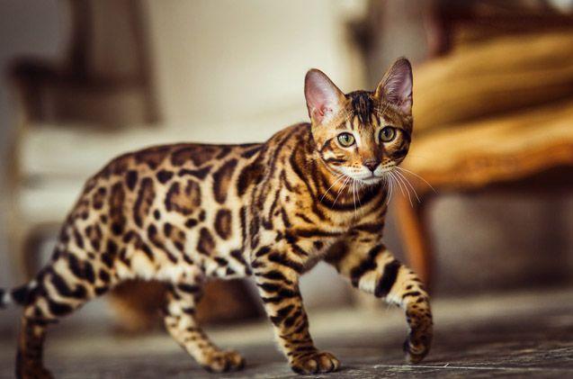 Cheetoh Spotted Cat Ocicat Cat Breeds