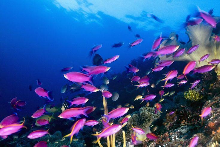 Los arrecifes de coral de Papúa Nueva Guinea    La bahía de Kimbe, en Papúa Nueva Guinea, es un mar de coral, literalmente. Son miles las especies marinas que sustenta la barrera coralina de la costa de este país oceánico, que atrae el turismo submarino por su maravilloso y singular entorno. Y aunque gran parte de este ecosistema está en peligro, son múltiples las acciones internacionales que buscan salvarlo desde hace años y que poco a poco han acotado una zona protegida.