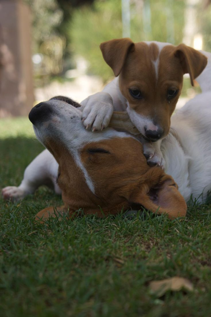 543 Best Images About Mary S Jack Russel On Pinterest