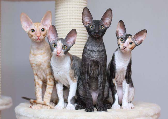 Cornish Rex Cat BreedersSiggy's Paradise