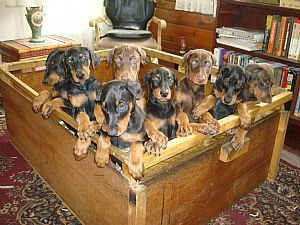 Cute puppies! Doberman. How can you just pick one??? :)