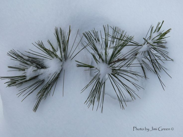 Pine branches..