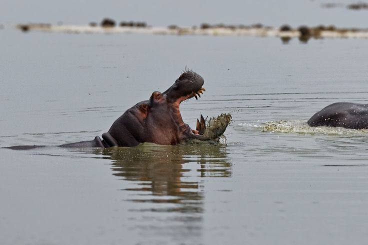 Hippo in small lake in Hwange national park (Zimbabwe) #africa #angry #animal #animals #hippo #hwange #lake #national park #safari #wildlife #zimbabwe