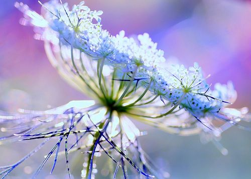 queen annes lace: Blue Flowers, Natural Beautiful, Beautiful Bloomers, Inspiration Plants, Beautiful Flowers, Queen Anne Lace, Photo, Beautiful Things, Queen Annes Lace