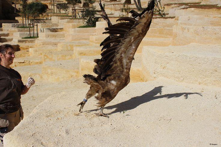 Relâché d'un vautour dans son nouvel espace.