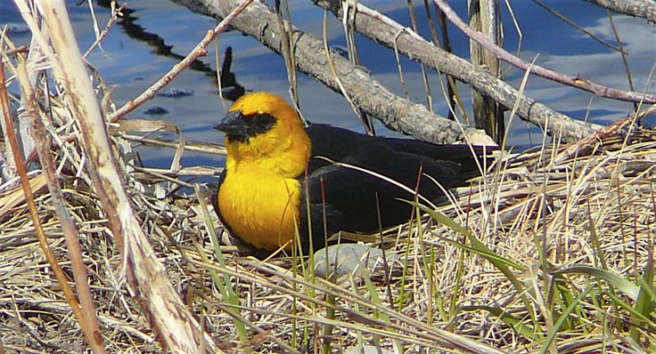 Yellow-headed Blackbird, sitting pretty in the early spring.