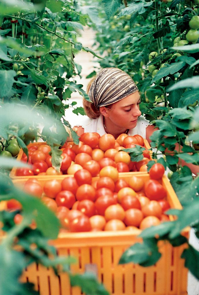 Tomatoes cultivation from viken