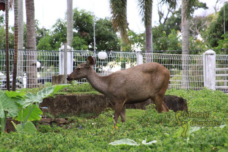 Caprioara intr-un parc din Kota Bengkulu