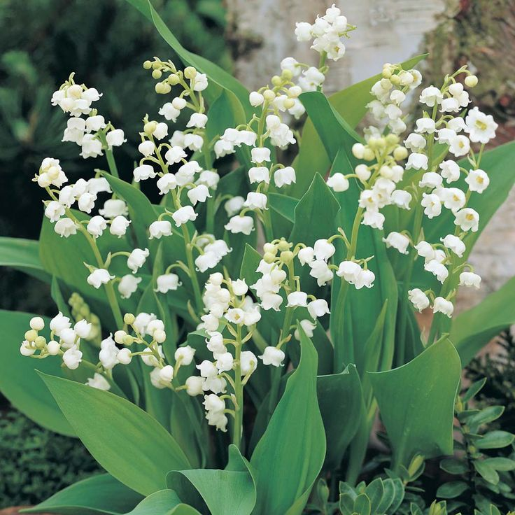 Lily of the Valley, pretty soft flower I remember from a lullaby my mom and grandma sang to me, would love to include somehow