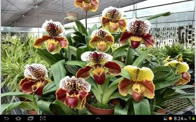 Uma orquídea muito bonita