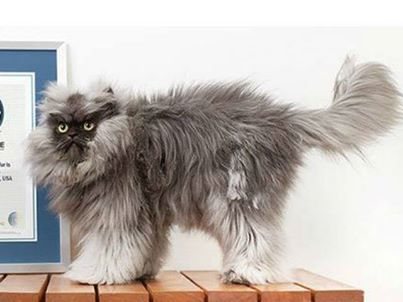 colonel meow has earned his place in the new guinness world records 2014 for having the longest fur on a cat the himalayan persian cross breed from los