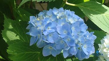 Blue Hydrangea (Ortensia Blu)