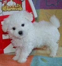 Beautiful Bolognese | Bichon Bolognese Puppies For Sale | TN Dog Breeder | Toy Puppy Dogs