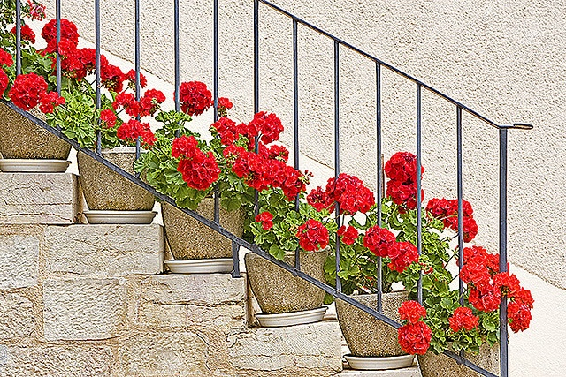 ...I'll find a place for red geraniums.