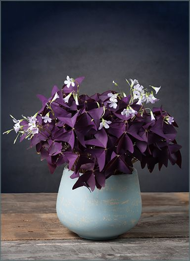 oxalis triangularis purple butterflies in a sky blue bowl