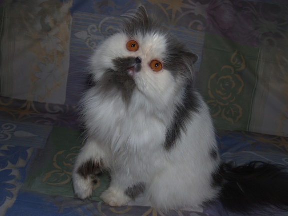 New kitty, what you think?: Stuff, Kitty, Persian Cat