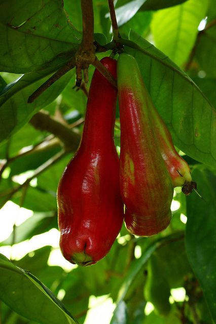 Giant Lau Lau (Syzygium megacarpa) is a large, crunchy fruit similar to the malay apple. Well flavored, although having a subtle sweet taste. Fruits are esteemed in Papua New Guinea and parts of the South Pacific islands.