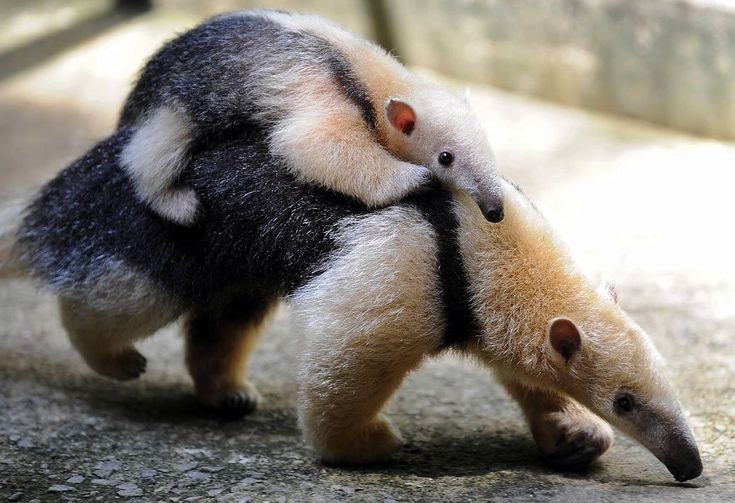 anteater mother and child