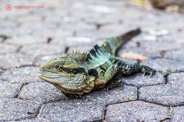 Um lagarto andando livremente em um parque em Brisbane, na Austrália. Ele olha diretamente para a câmera, possui o copor verde, cinza e com um listra preta e amarela perto dos olhos.