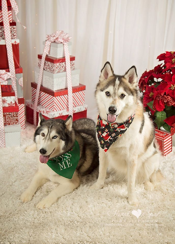 Christmas Huskies By Heart Spot In Braselton Ga Siberian Husky